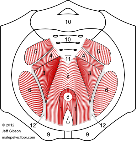 Male Pelvic Floor Muscles: The Pelvic Diaphragm
