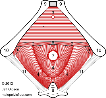 Male Pelvic Floor Muscles: The Urogenital Diaphragm